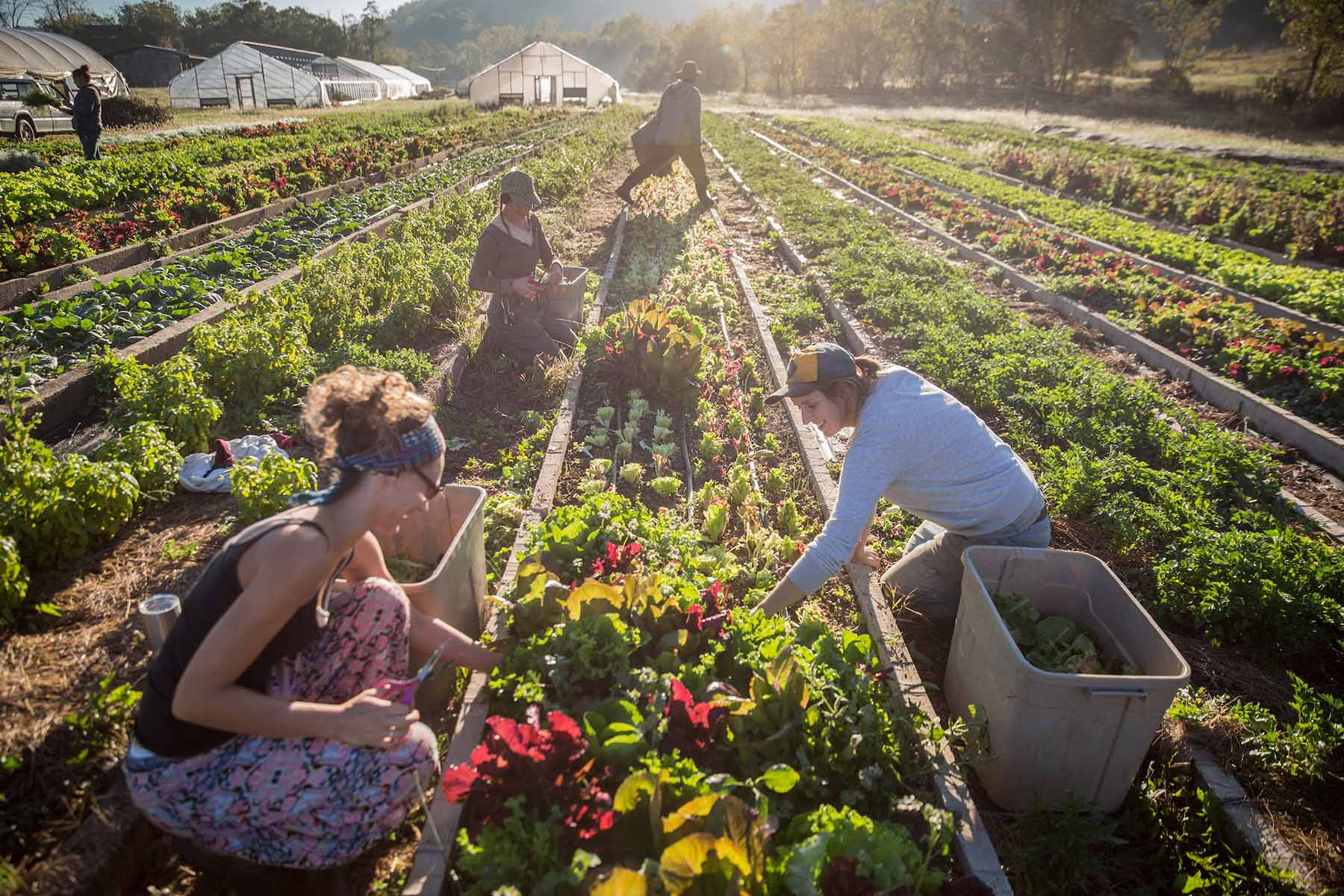 Photographs of employees harvesting produce at Green Edge Gardens in Amesville, Ohio on October 7, 2016