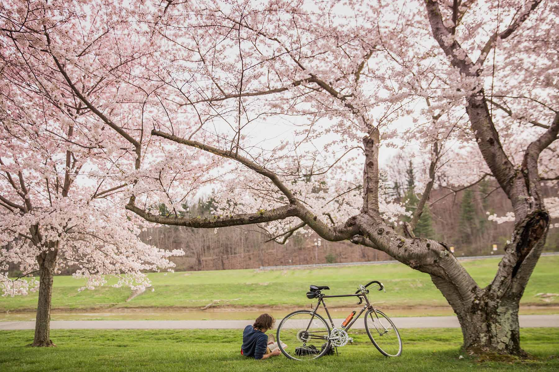 Cherry Blossoms along the bike path on Ohio University campus