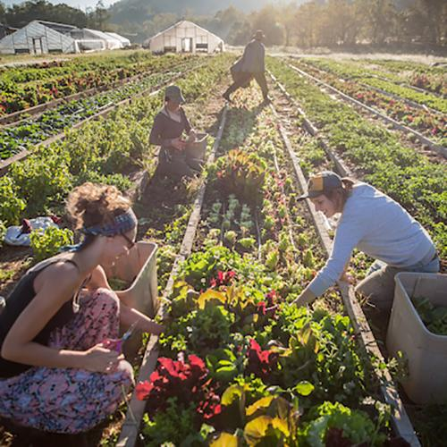 People line a row of a large garden, picking fresh vegetables.