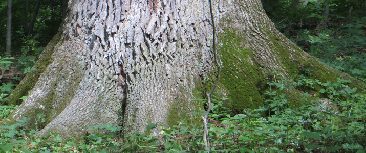 Some old growth trees in Dysart Woods, several hundred years old, are over four feet in diameter and stand 140 feet high.