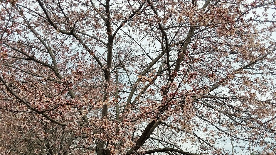 Cherry Blossom Image Gallery
