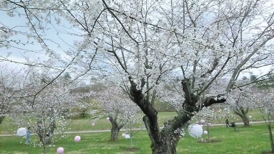 Cherry Blossom Trees and lanterns