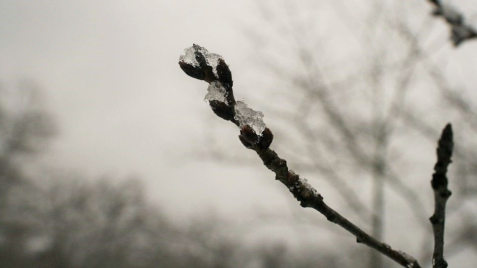 Ice covered Cherry Blossom branch