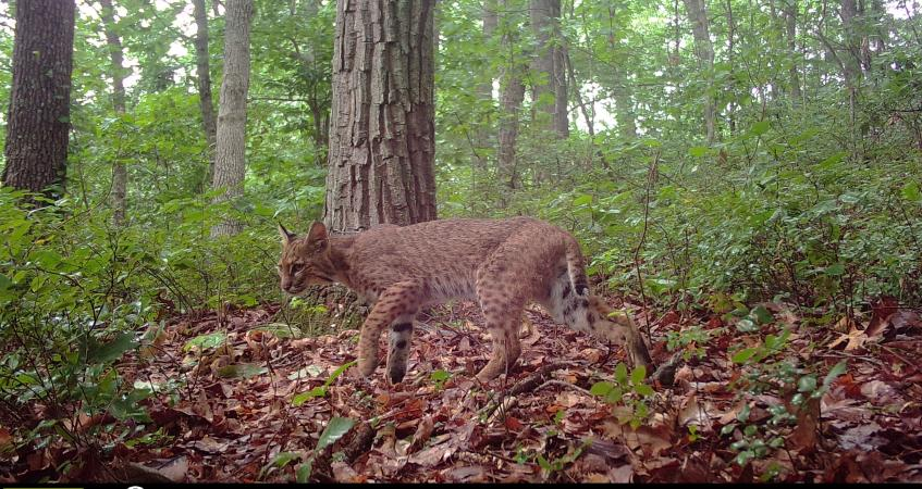 OHIO scientists publish study on bobcat roadway mortality