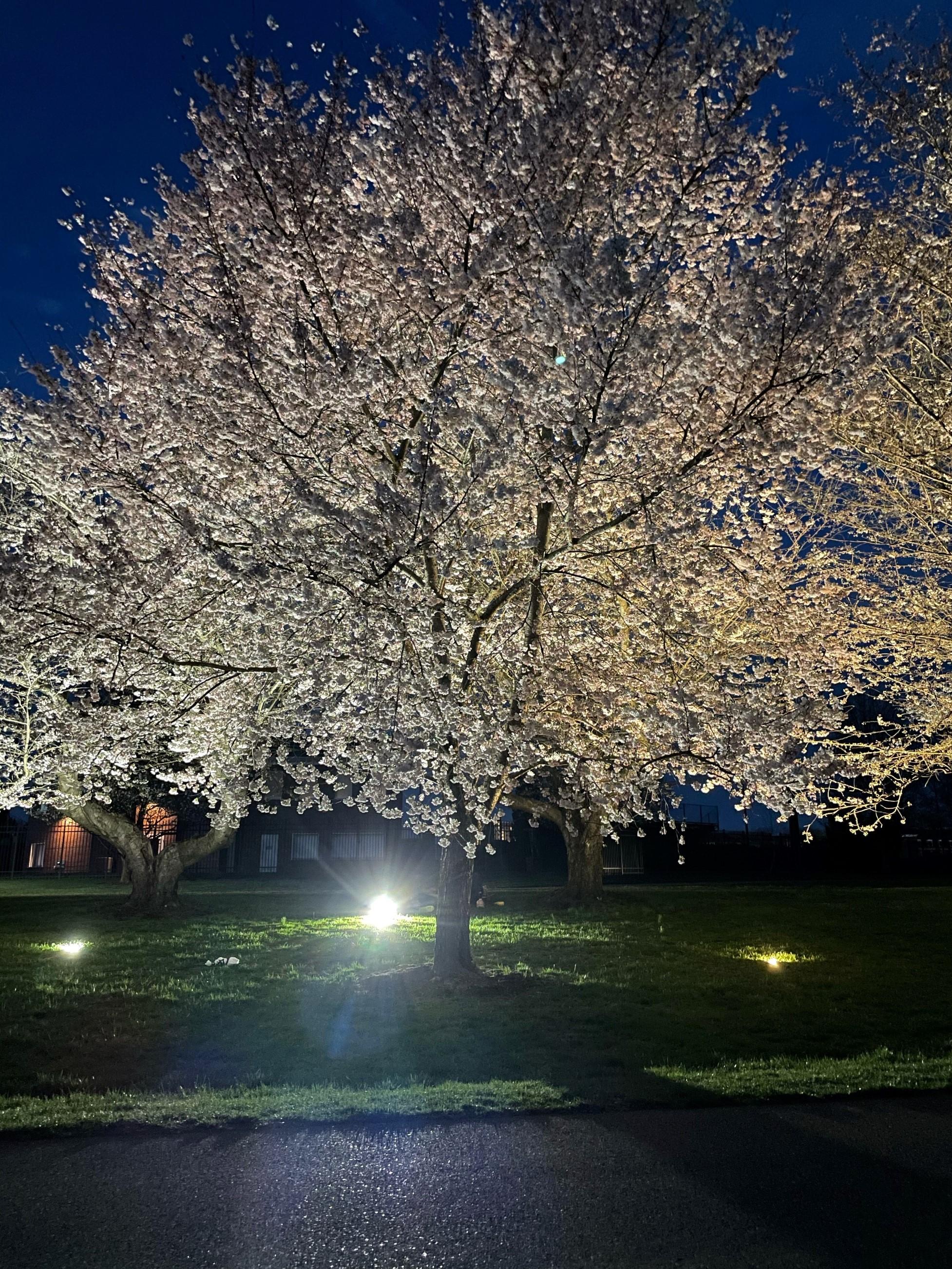 2021_cherryblossoms_0330_KM night (2.2)