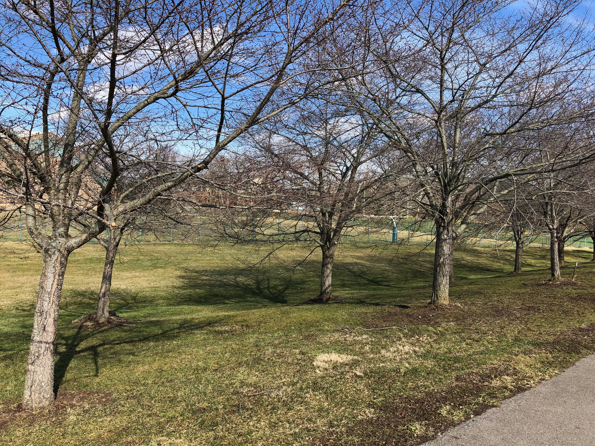 Bare cherry trees on March 1st.