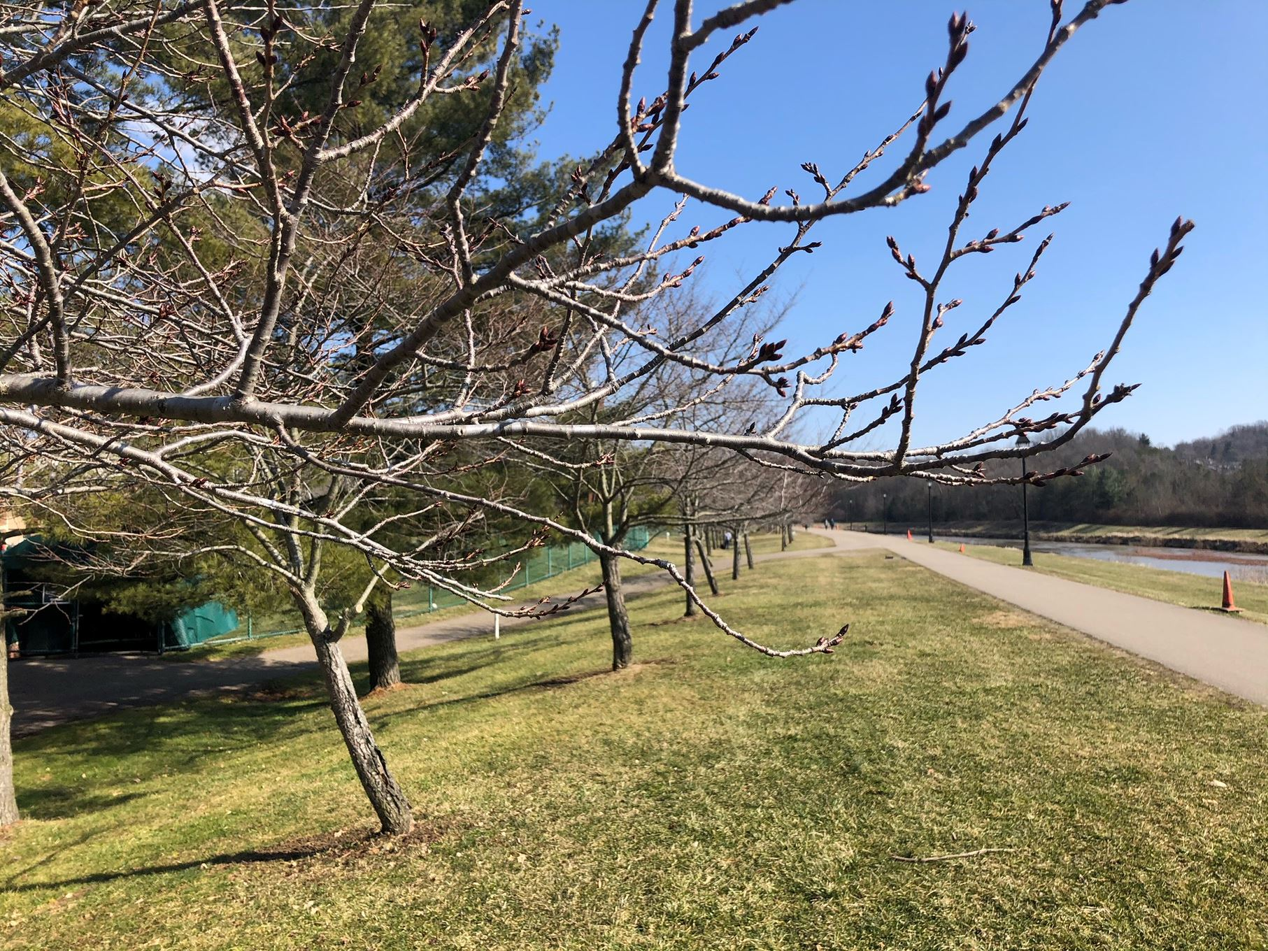 Bare cherry trees on March 4th