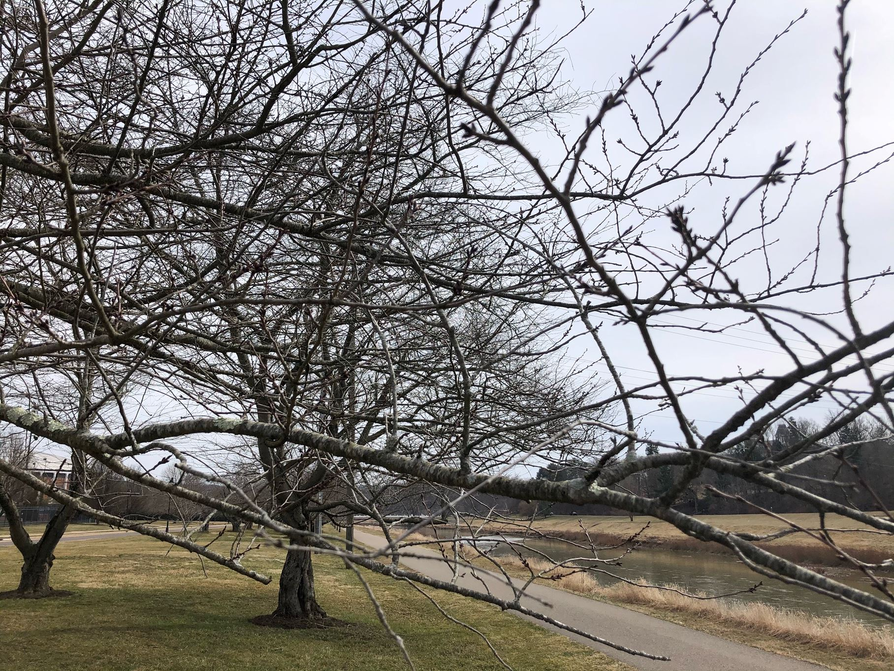 Cherry trees before blossom along the bike path on an overcast day,