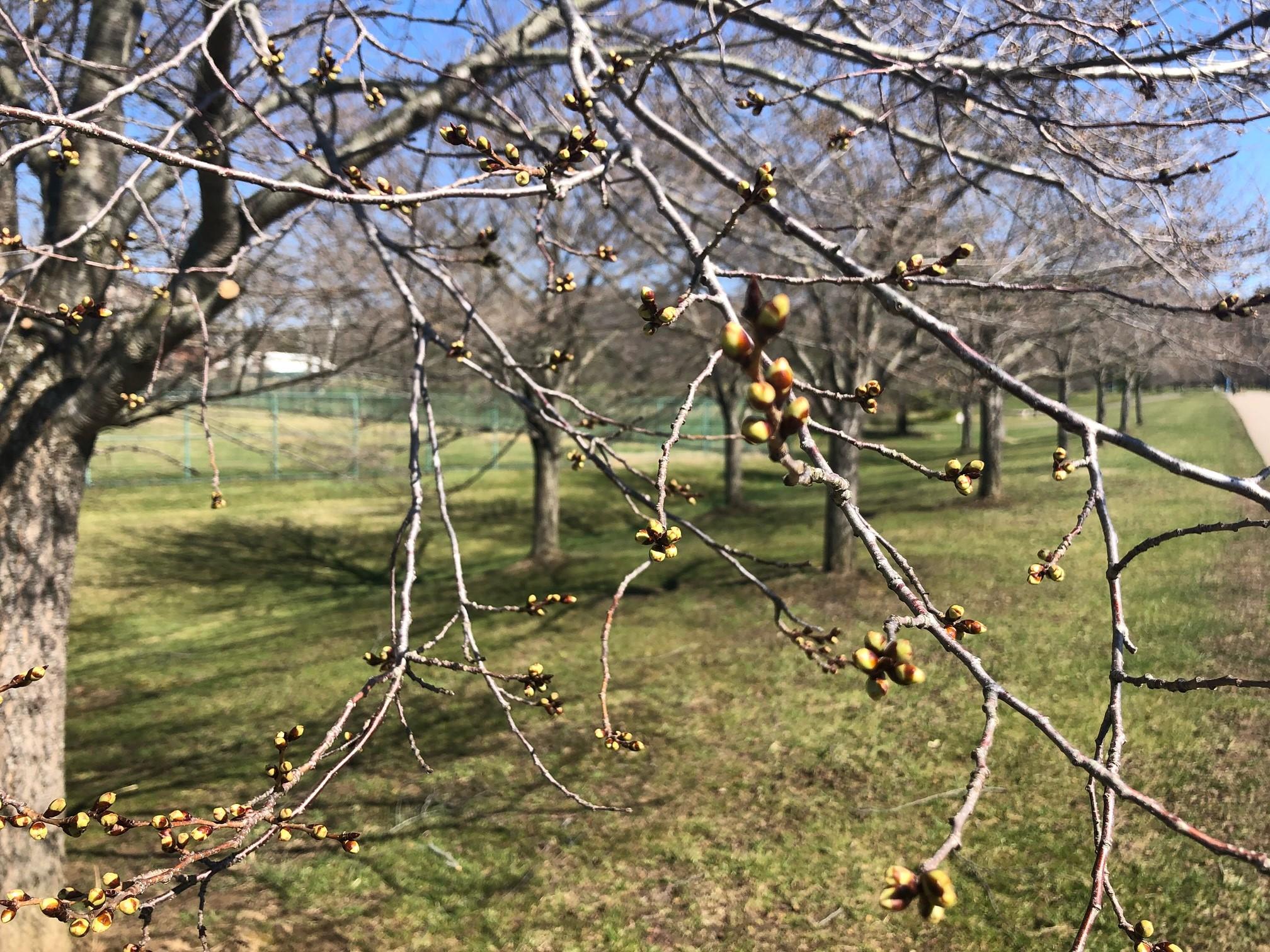 2021_cherrytrees_0319_3
