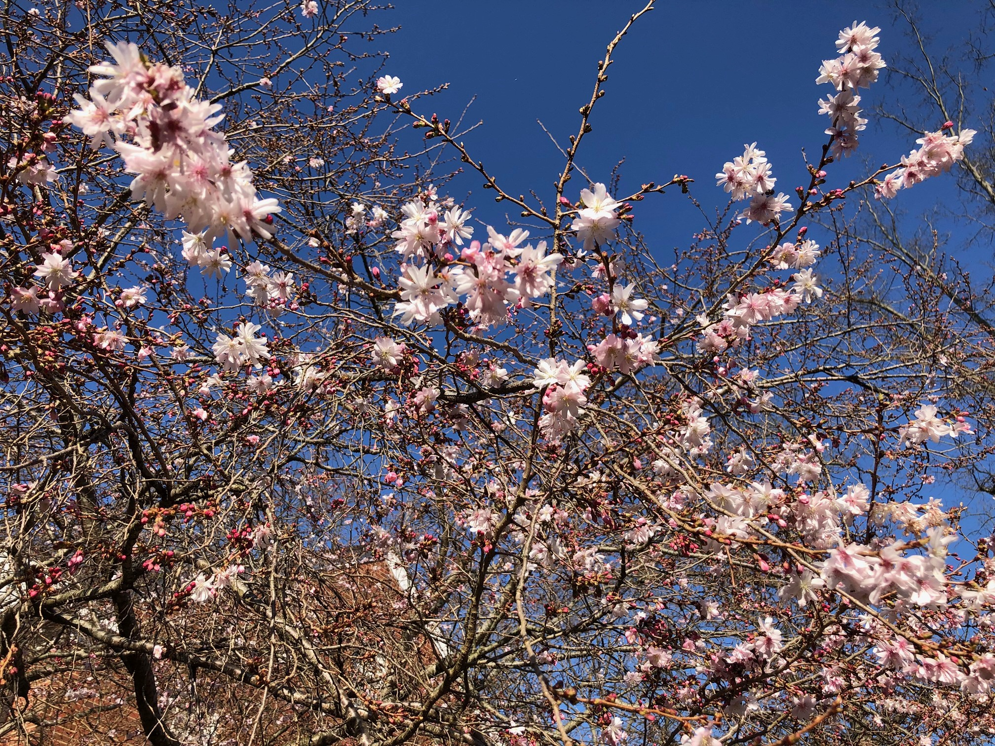 2021_cherrytrees_0321_7