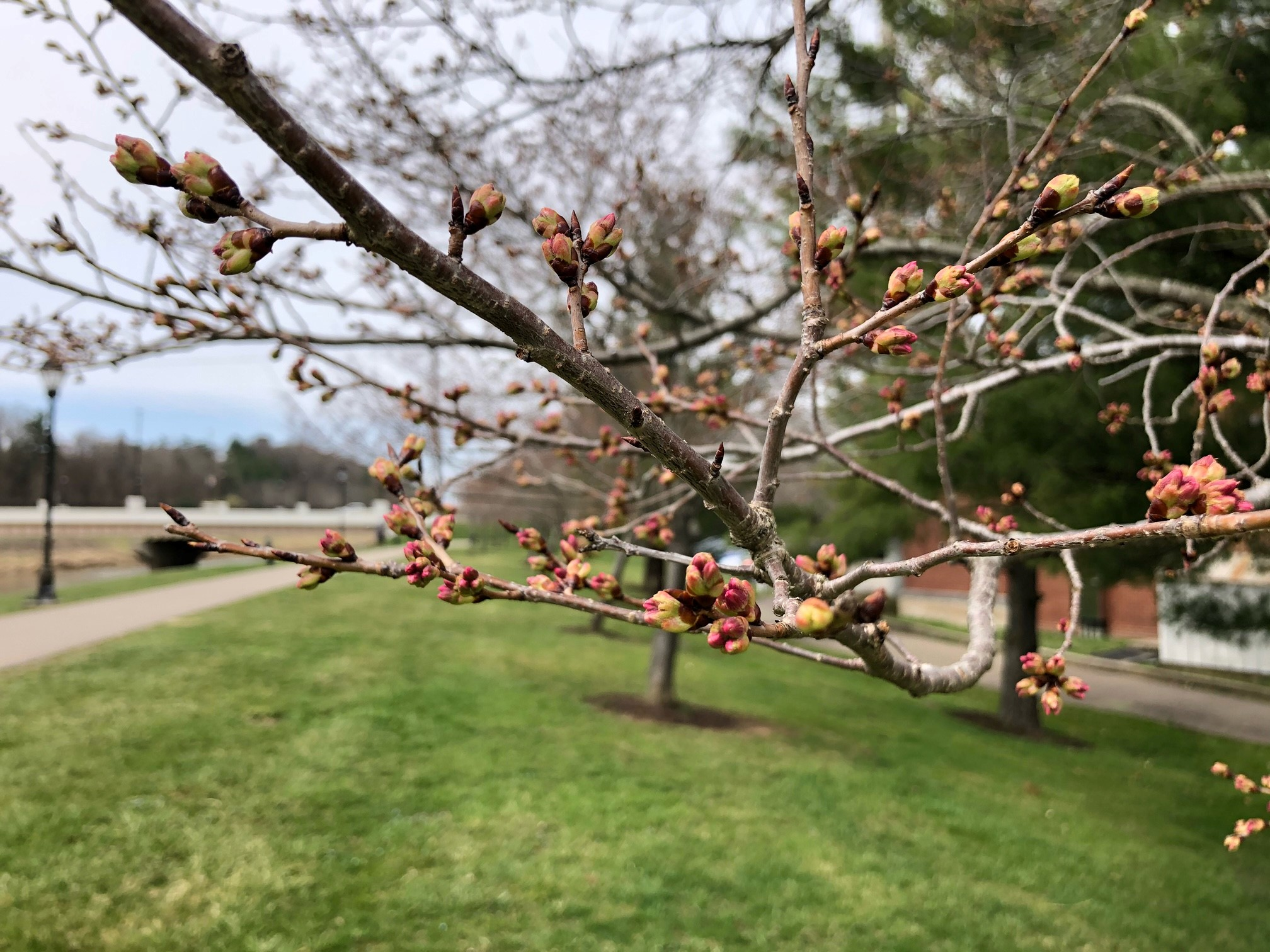 2021_cherrytrees_0323_6