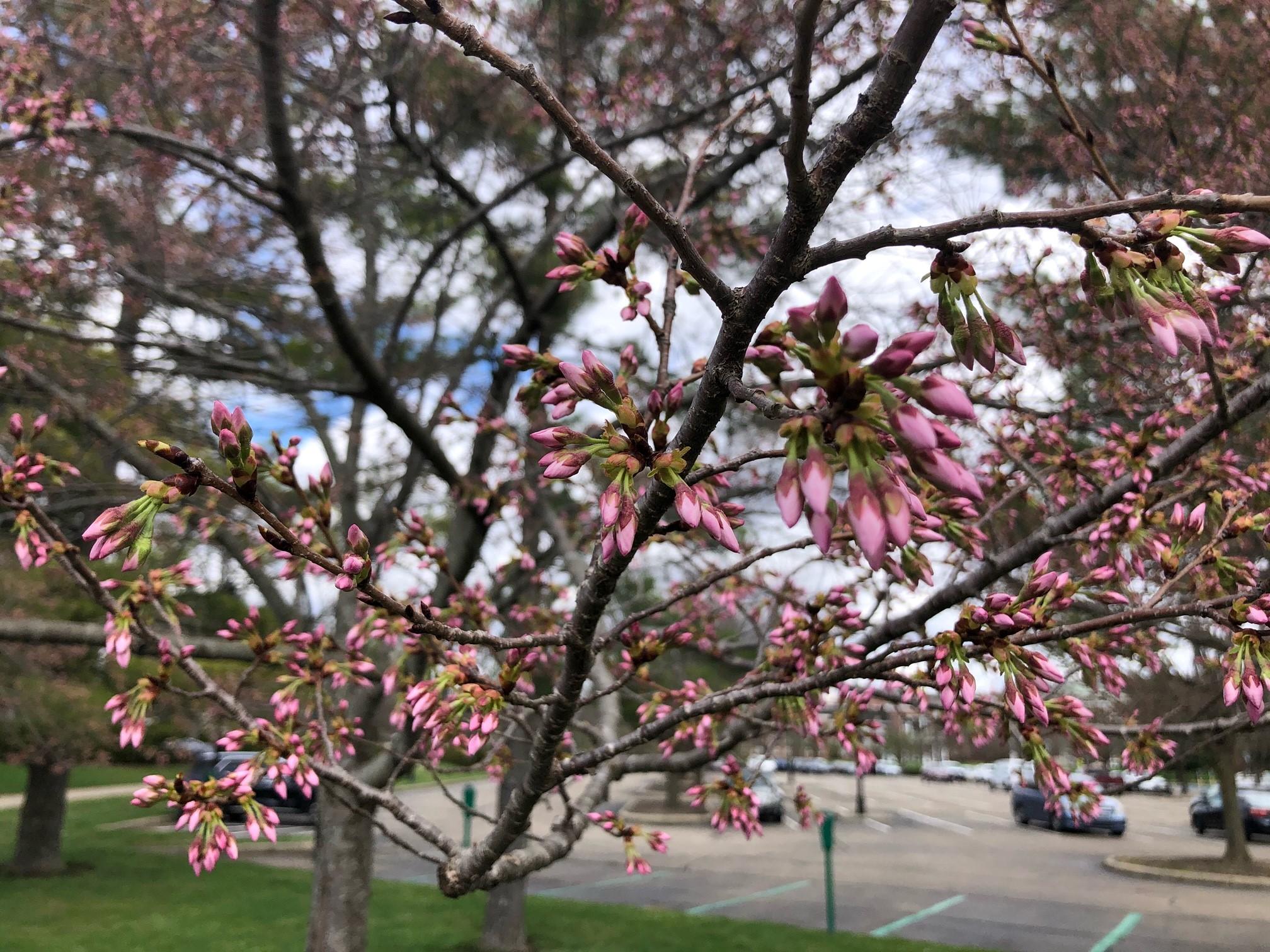 2021_cherrytrees_0326_4