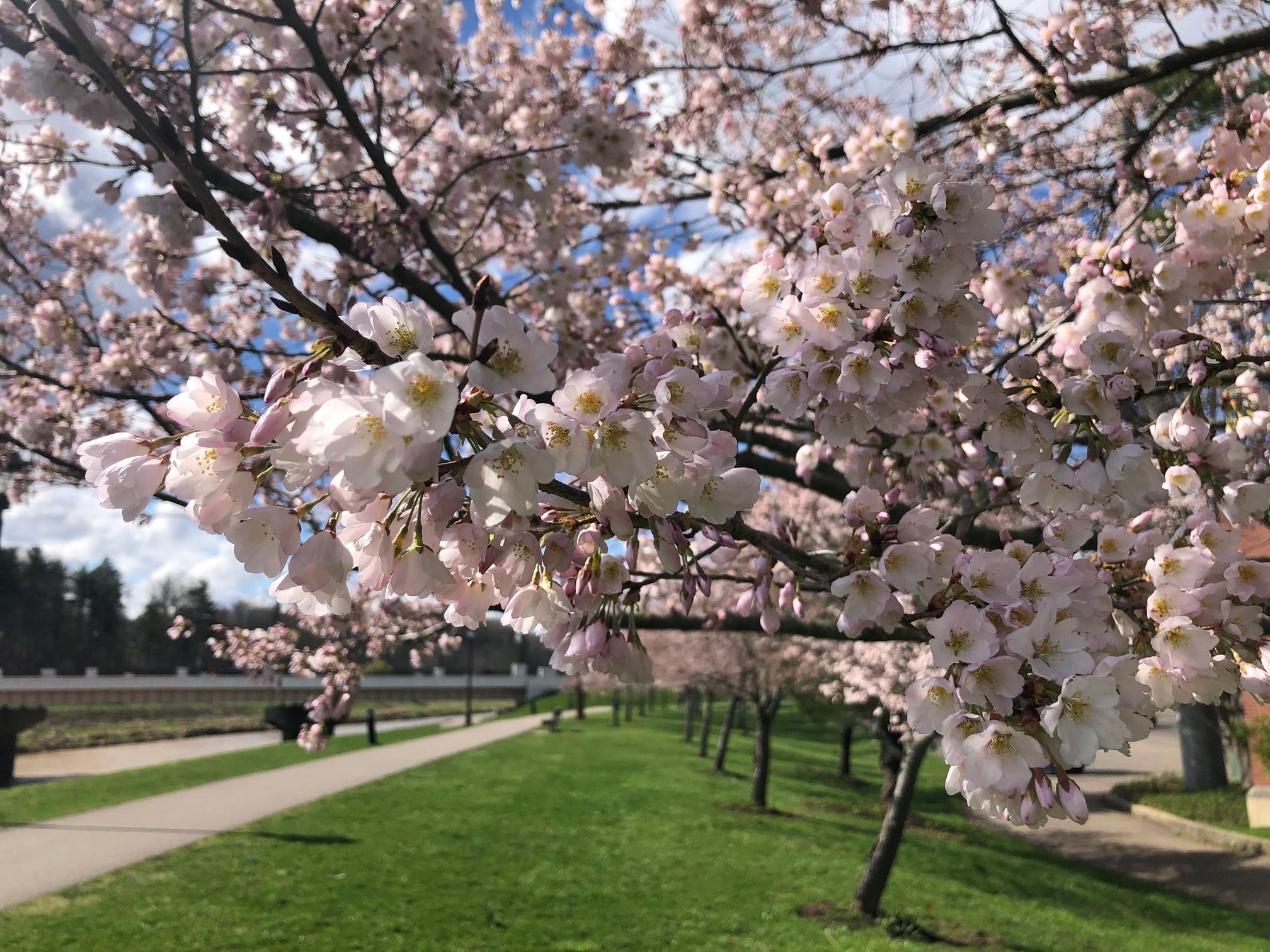 2021_cherrytrees_0328_6
