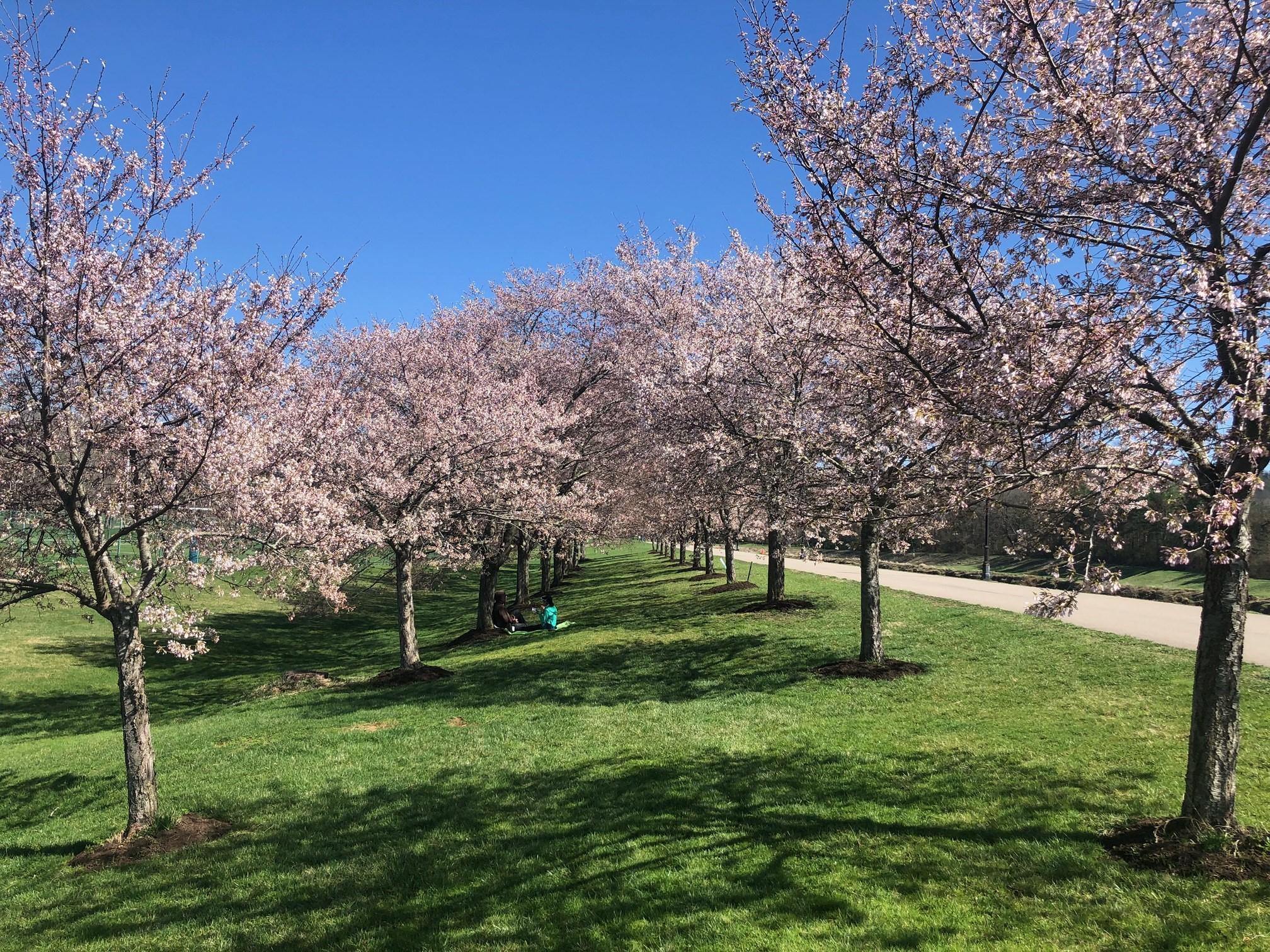 2021_cherrytrees_0329_4