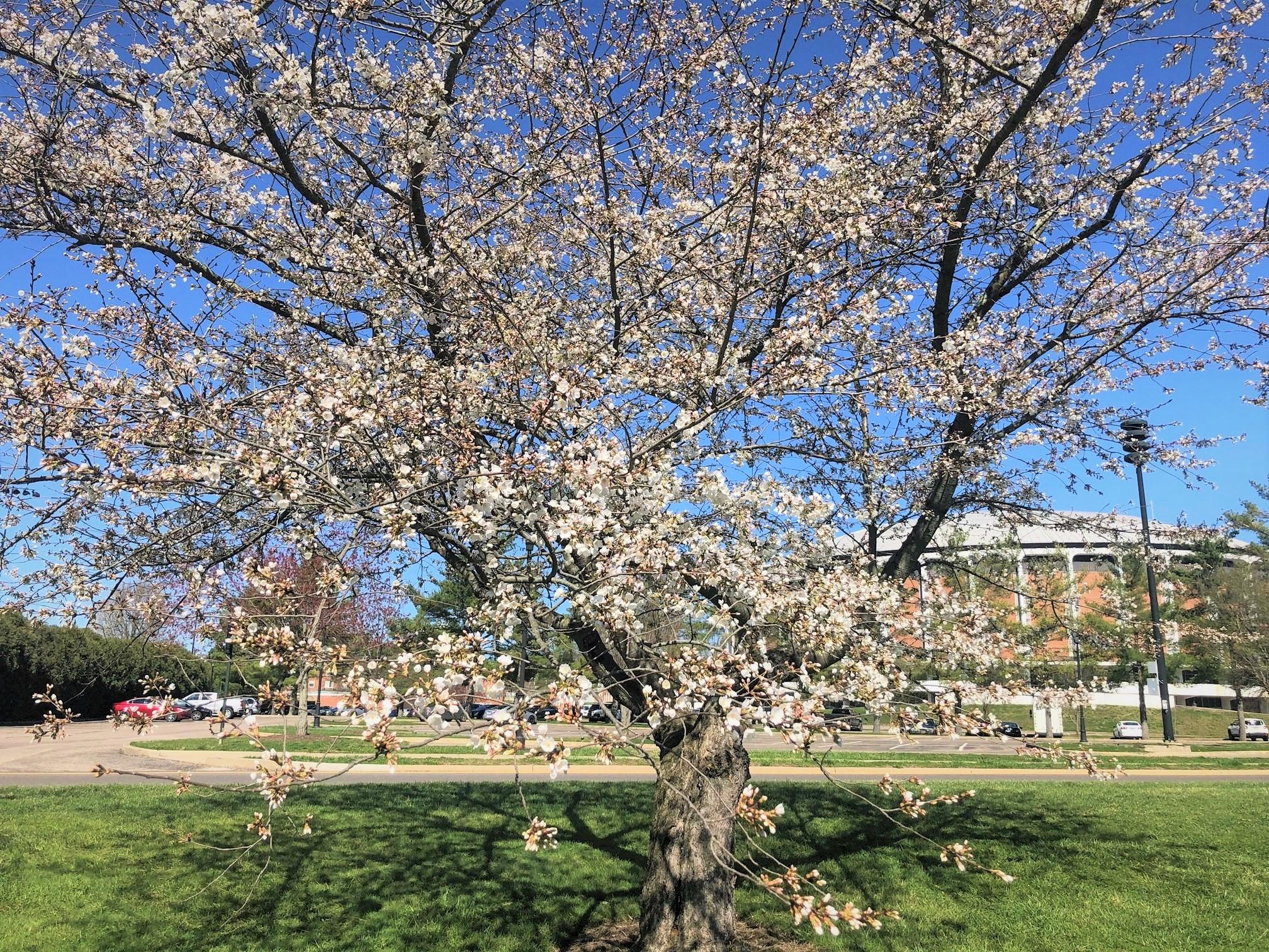 2021_cherrytrees_0329_5