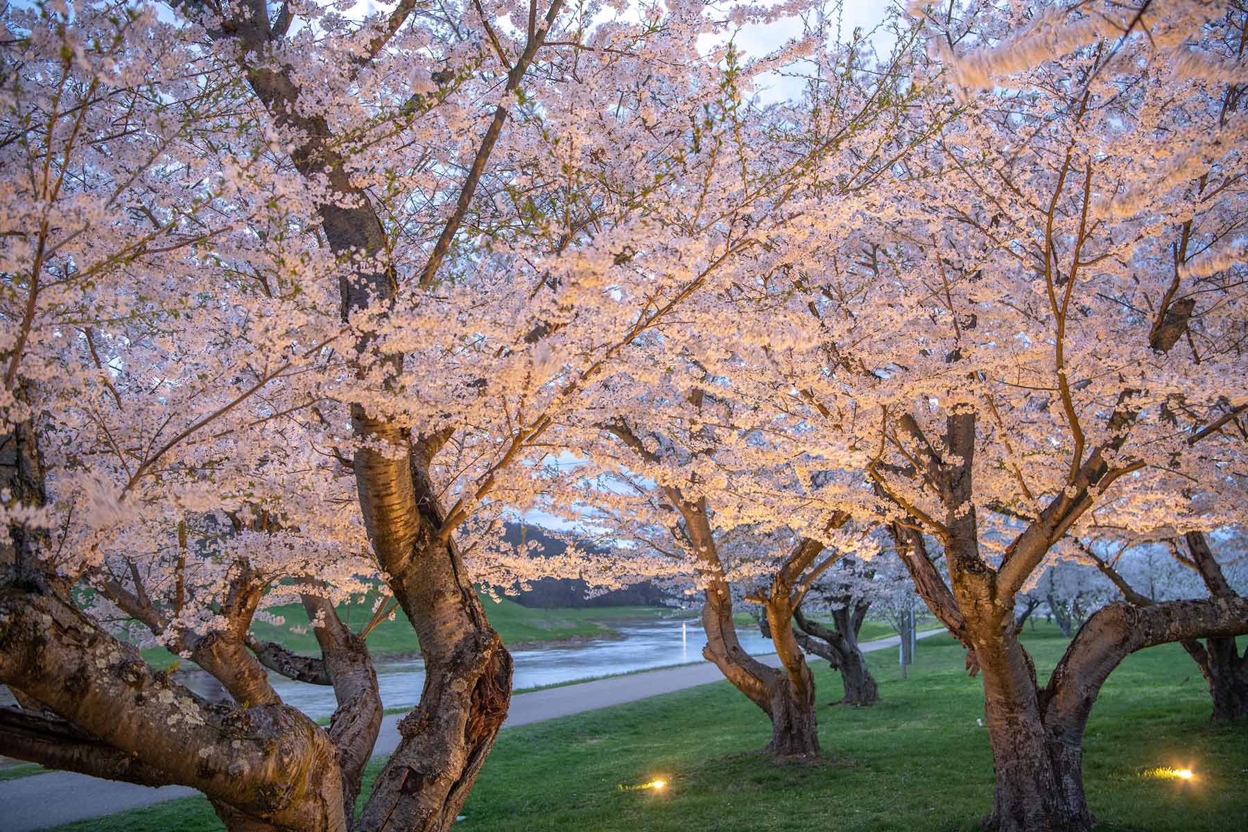 Lighted cherry blossom trees along the Athens campus bike path