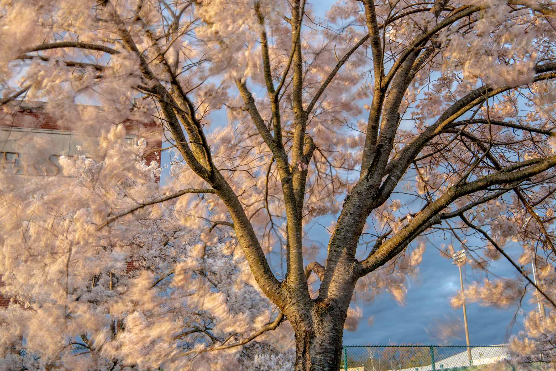 A blossoming cherry tree moving in the breeze