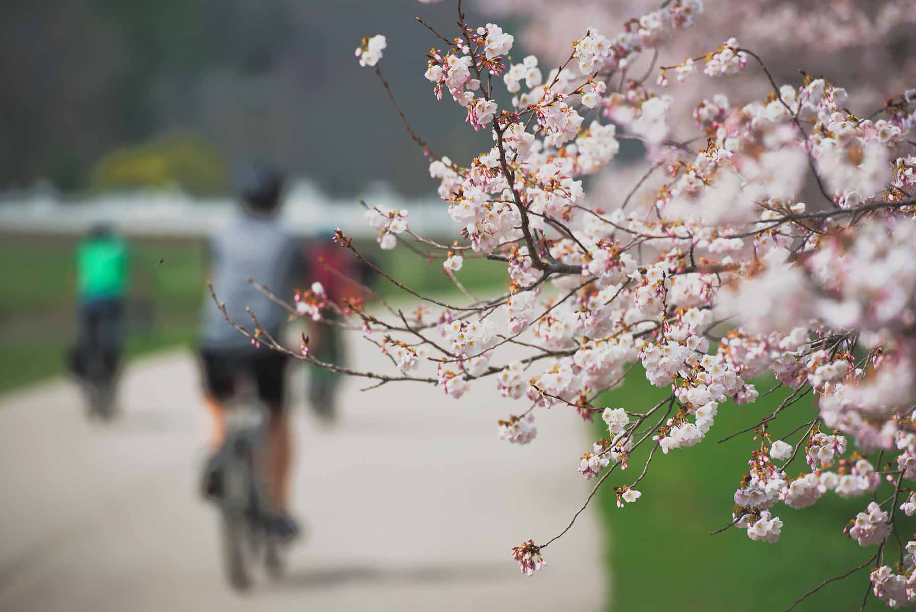 Out of focus cyclists going past a flowering cherry blossom tree