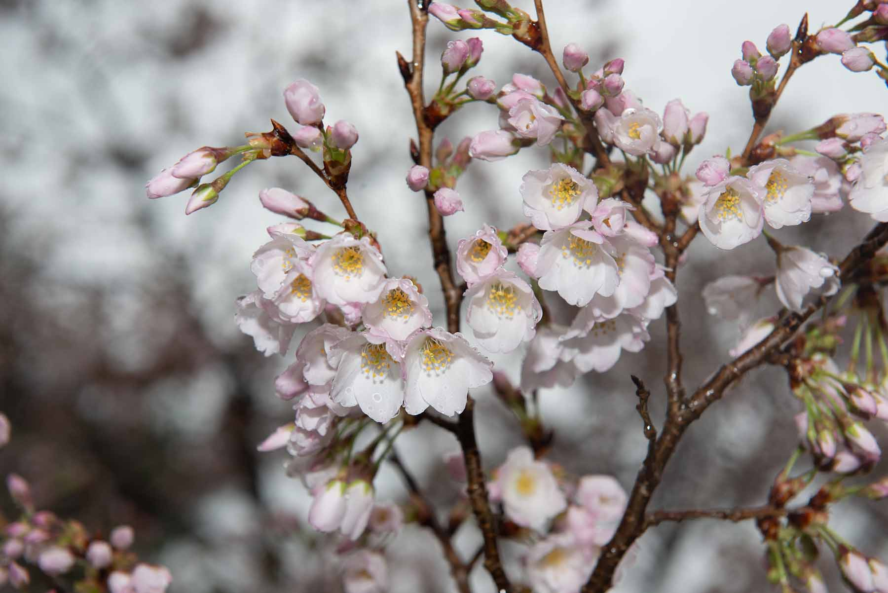 Close-up photo of a flowering cherry blossom tree limb