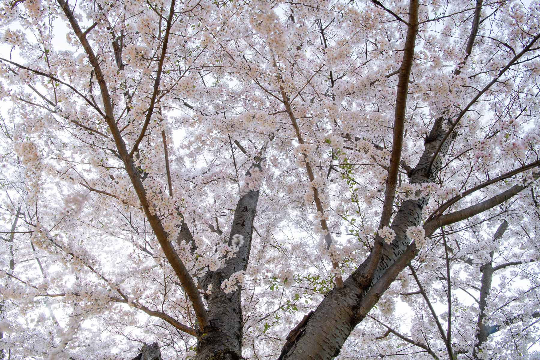 A flowering cherry blossom tree